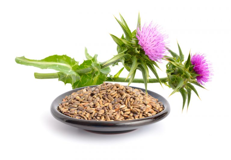 Milk thistle flowers with seeds. Isolated on white background.