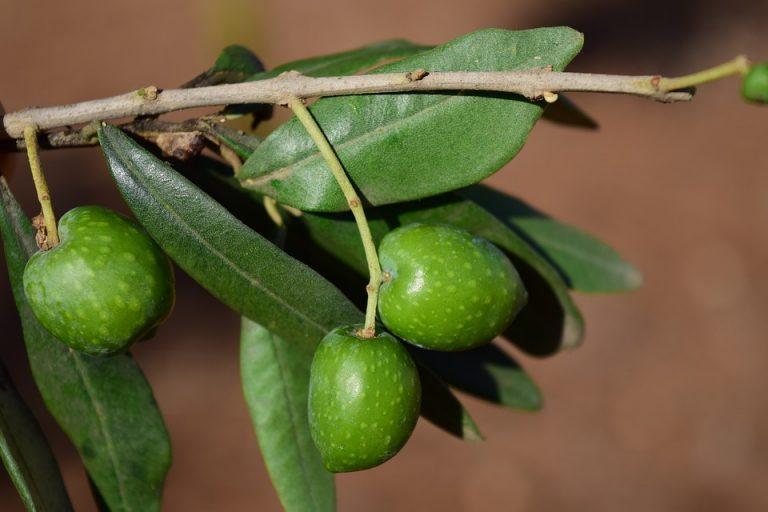 Olive Leaf – wyciąg z liścia drzewa oliwnego.