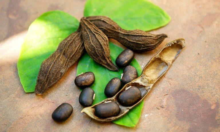 Mucuna Pruriens (l-dopa): 5 najważniejszych korzyści zdrowotnych