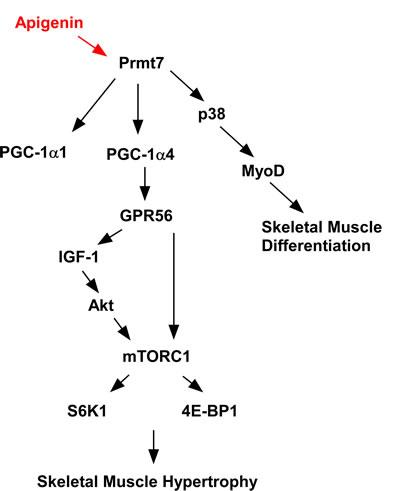 Apigenina - ścieżki biochemiczne