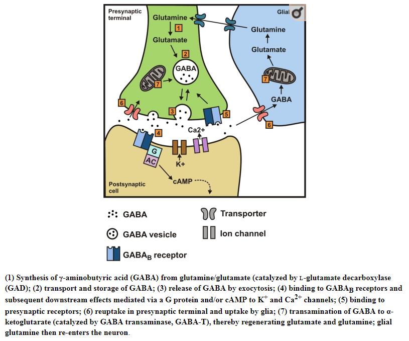 Cykl działania GABA