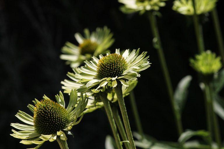 Echinacea – naturalny antybiotyk. Część IV