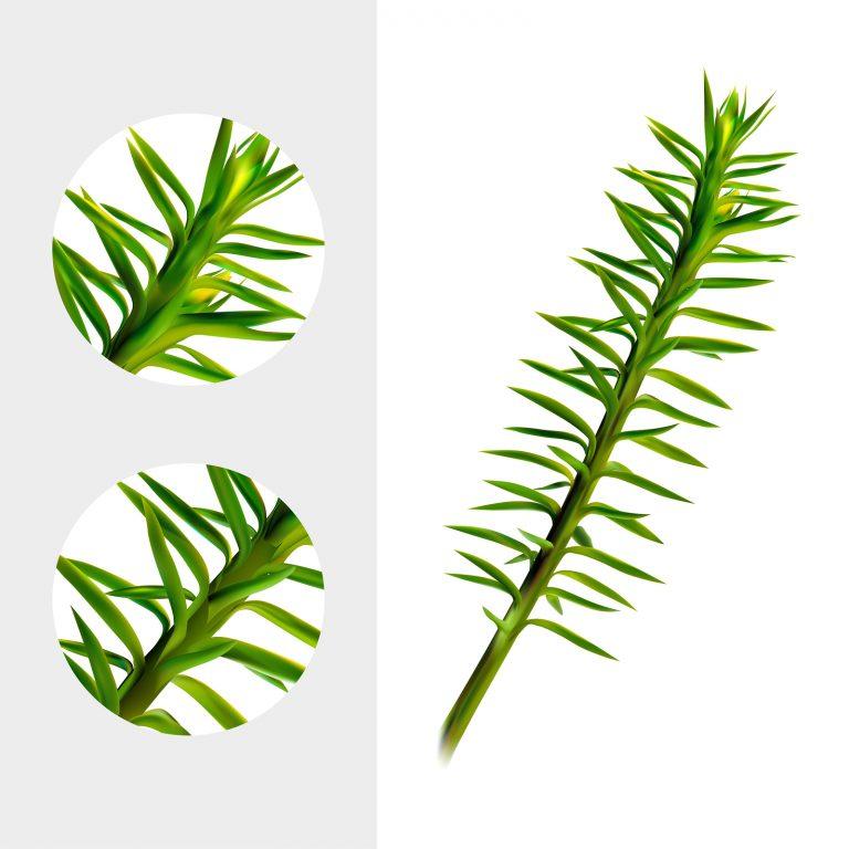 Huperzine plant on white background. Chien Tseng Ta, Jin Bu Buan, Qian Ceng Ta, She Zu Cao, Shi Song. Medicinal plant. Realistic vector illustration. Eps10.
