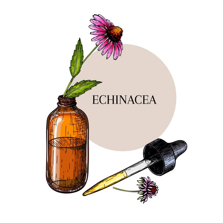 Hand drawn set of essential oils. Vector echinacea purpurea flower. Medicinal herb, glass dropper bottle. Engraved colored art. Ccosmetics, medicine, treating, aromatherapy, package design healthcare.