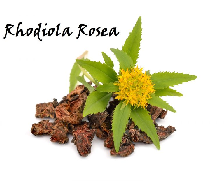 Rhodiola rosea (commonly golden root, rose root, roseroot, western roseroot, Aaron's rod, Arctic root, king's crown, lignum rhodium, orpin rose). Roots with flowers. Isolated on white background.