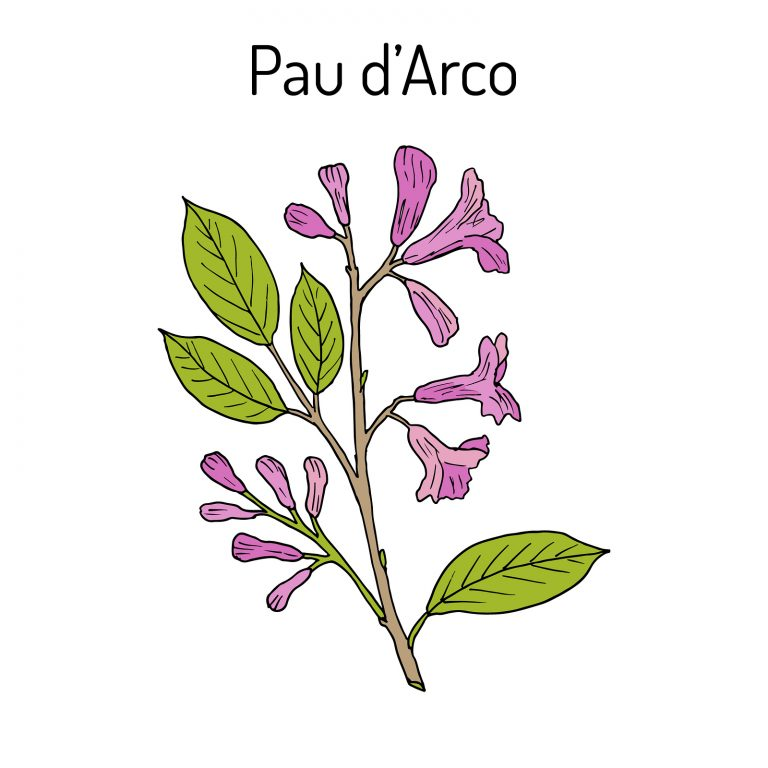 Pau d arco Tabebuia impetiginosa or trumpet tree medicinal plant. Hand drawn botanical vector illustration