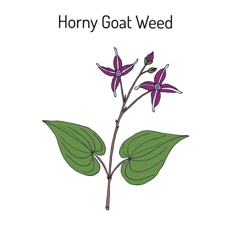 Horny Goat Weed Epimedium sagittatum medicinal plant. Hand drawn botanical vector illustration
