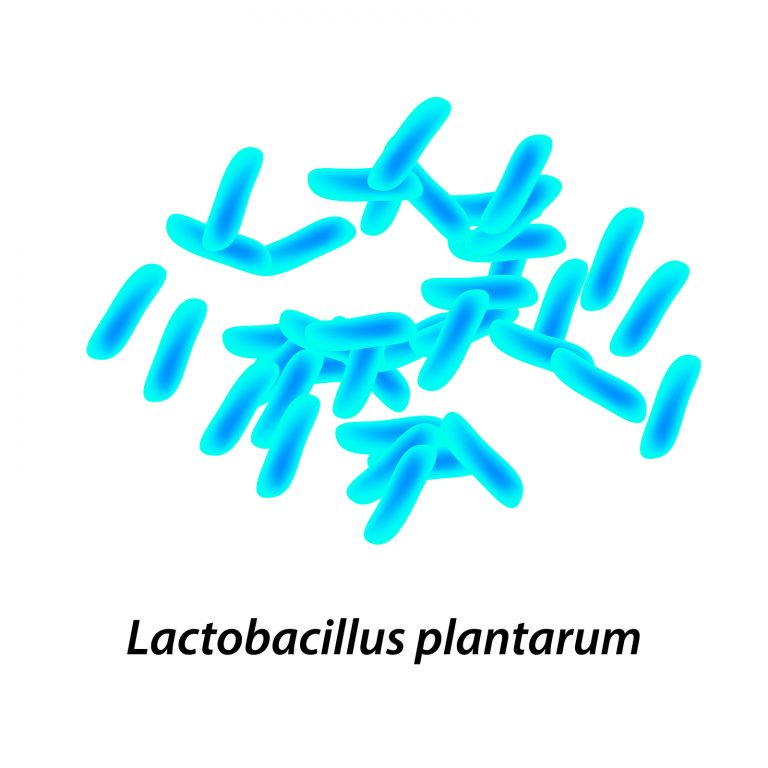 lactobacillus. Probiotic. Lactobacillus plantarum. Infographics. Vector illustration on isolated background.