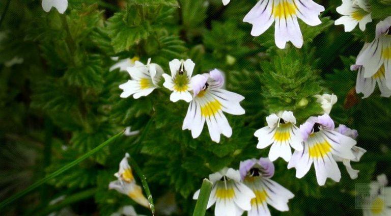 Euphrasia Officinalis – na stany zapalne oczu i alergie wziewne