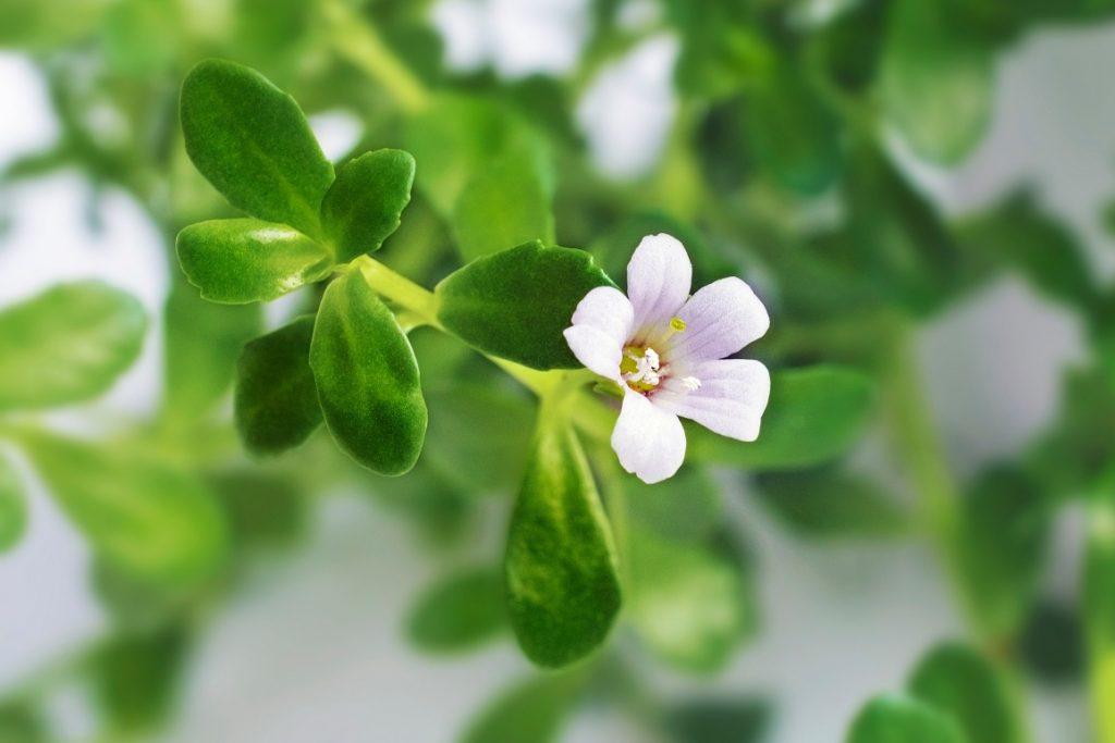 Świeży liść i kwiat Bacopy
