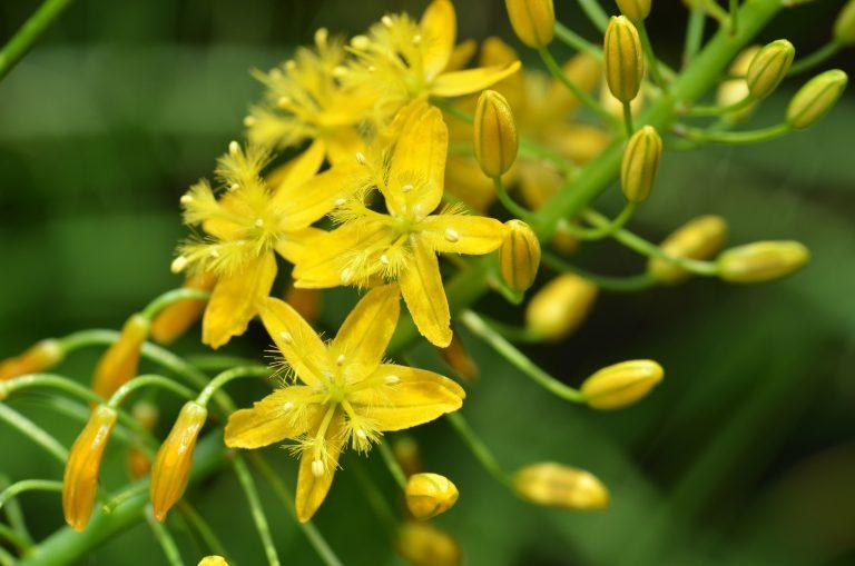 Top 4 korzyści stosowania Bulbine natalensis i potencjalne efekty uboczne