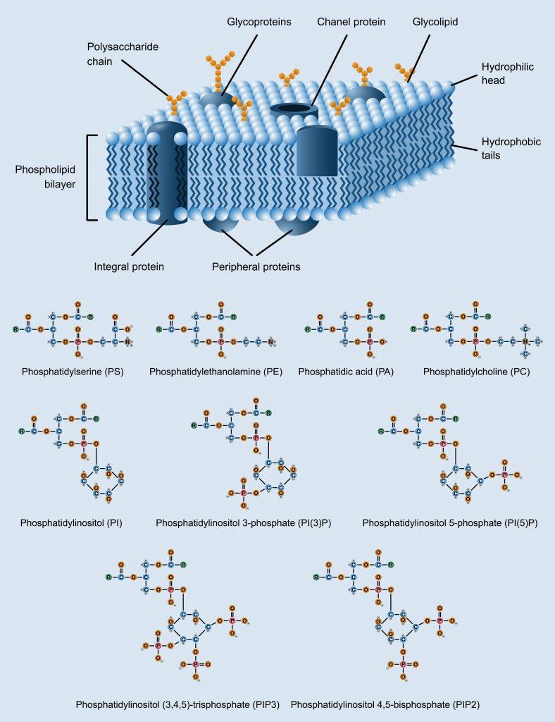 Kwas fosfatydowy jest jednym z głównych składników części fosfolipidowej błon komórkowych