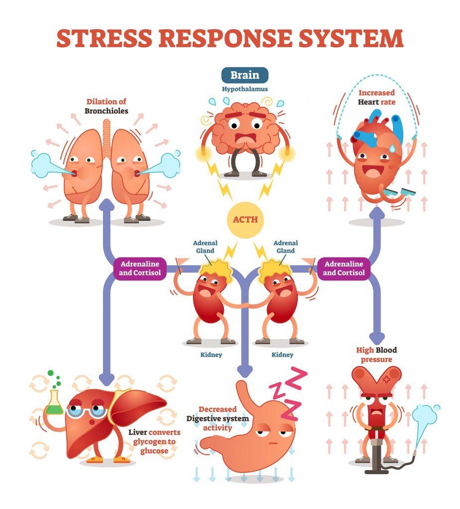Odpowiedź organizmu na stres w pigułce!