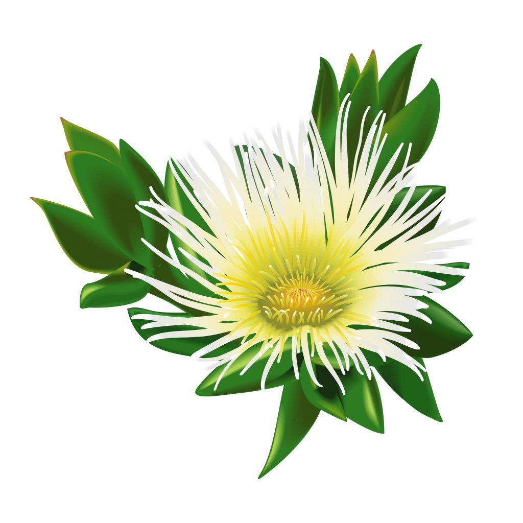 Kwiat Sceletium Tortuosum