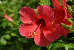 Właściwości prozdrowotne kwiatów hibiskusa